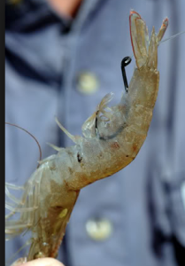 Shrimp hooked perfectly to hide the hook