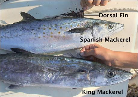 Tampa bay fishing report spanish mackerel moving in for Spanish mackerel fish